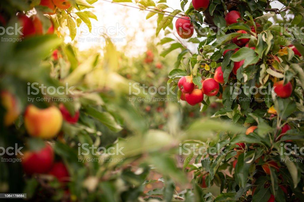 Rijpe appels op een boom, Thüringen, Duitsland foto