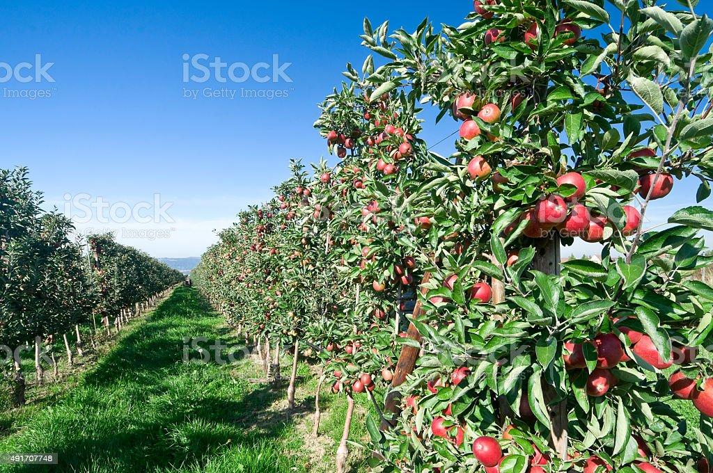 Reife Äpfel auf apple tree Plantage – Foto