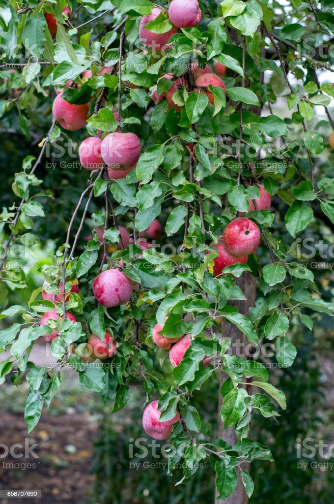 Ripe apples on the branches stock photo