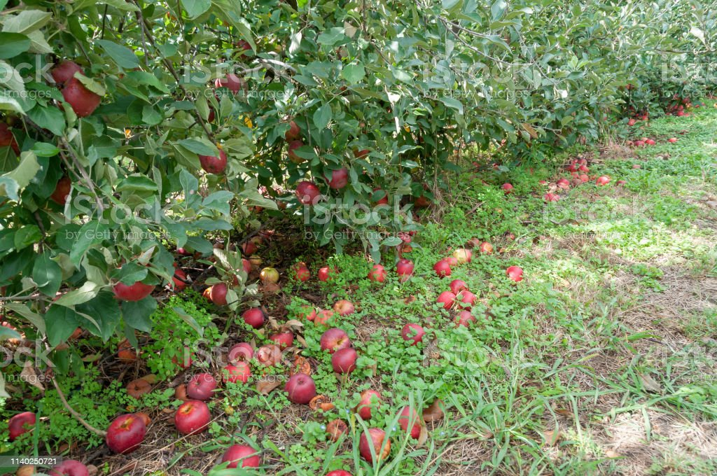 Red ripe apples on the ground. Agriculture, food waste scene