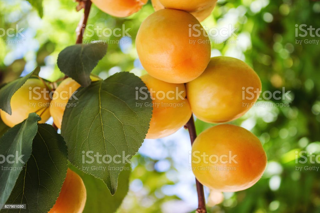 Abricots mûrs se développent sur une branche parmi les feuilles vertes, gros plan - Photo