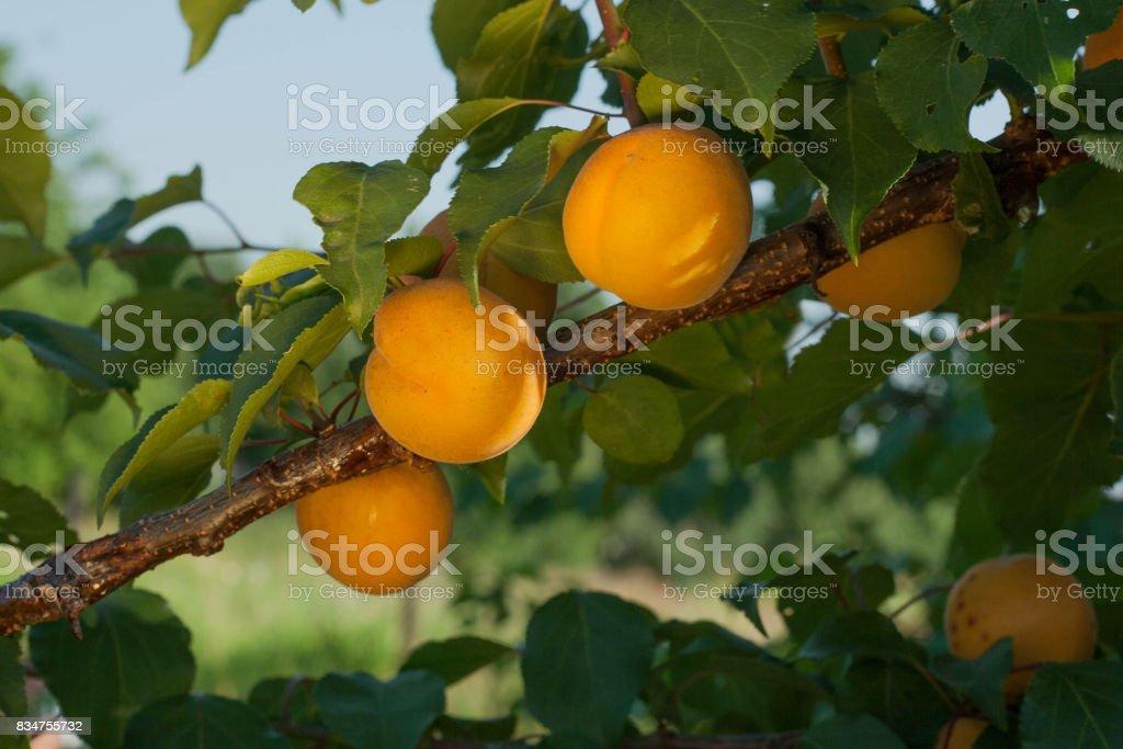 Abricots mûrs se développent sur une branche parmi les feuilles vertes dans le jardin. - Photo