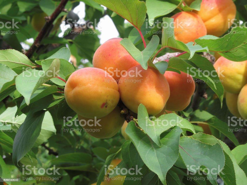 abricots mûrs accroché sur l'arbre. Tuscany, Italy - Photo