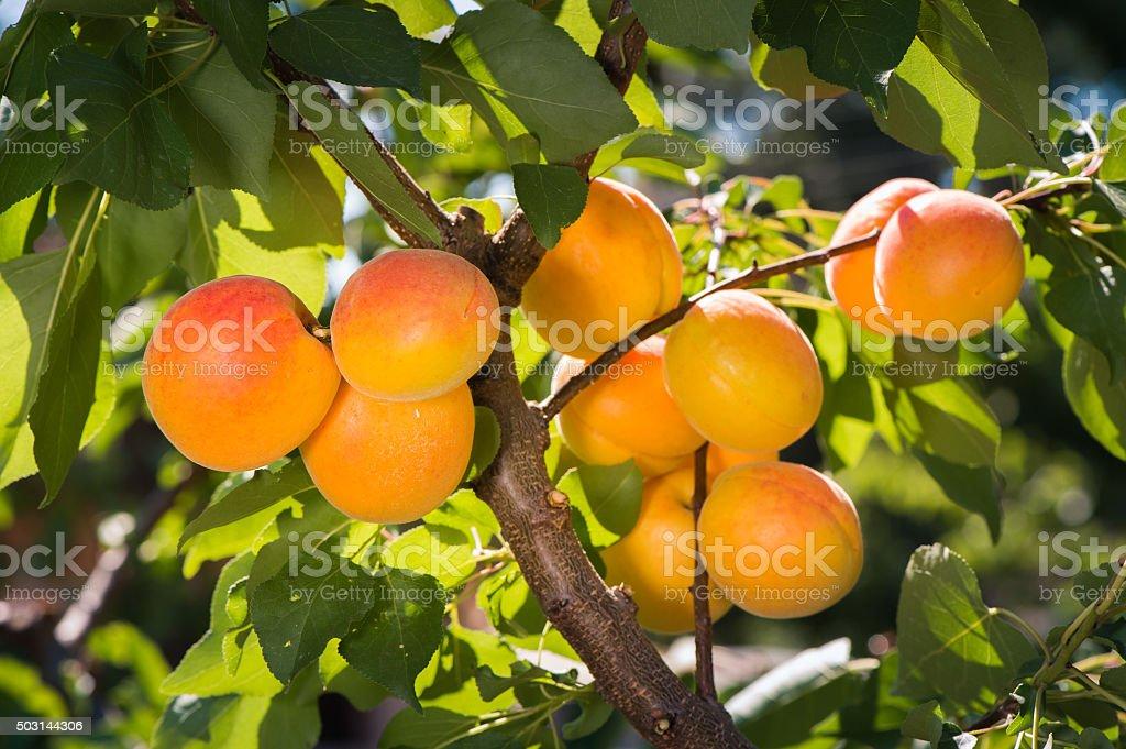 Reife Aprikosen auf einem Baum – Foto