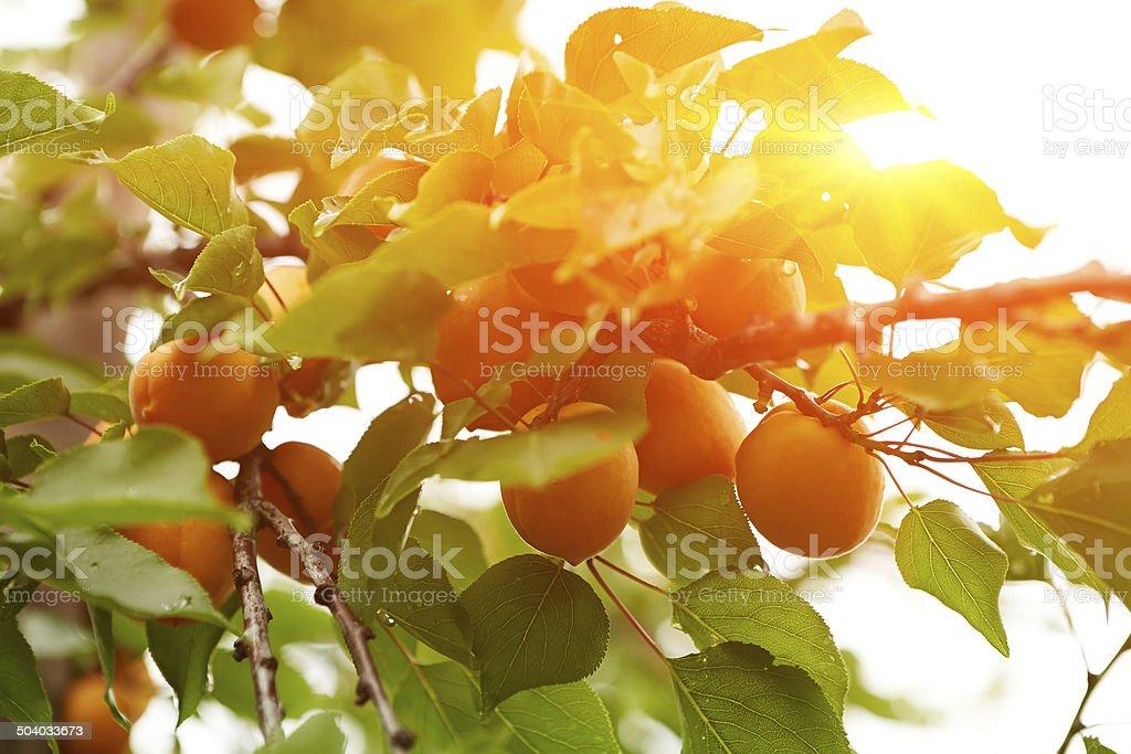 À maturité abricots sur la succursale - Photo