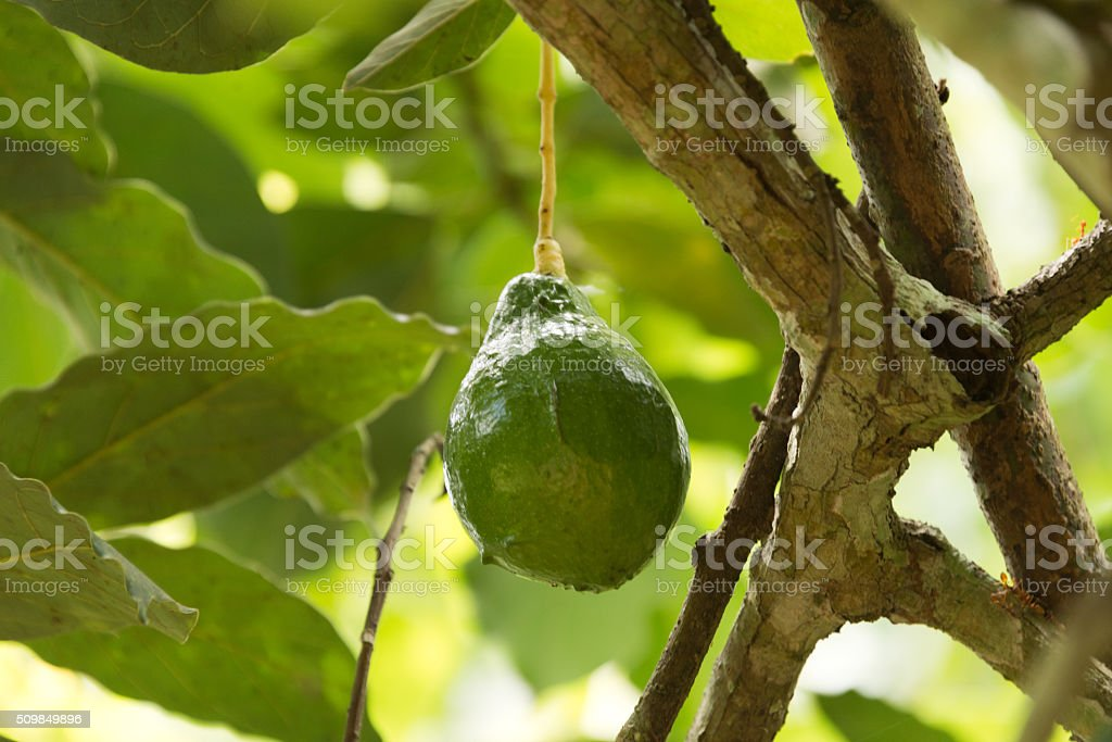 ripe avocado on tree stock photo
