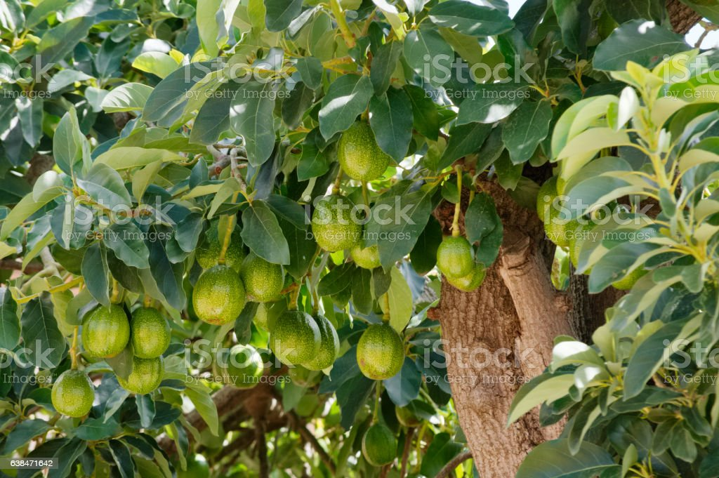 ripe avocados hanging on branch with leaves stock photo