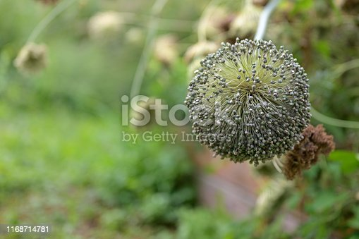 ripe ball shaped flower stall with seeds from a leek plant, copy space, selected focus, narrow depth of field