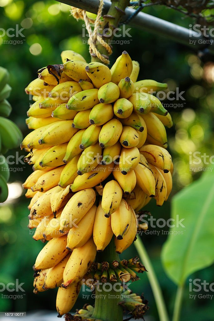 ripe banana bunch stock photo