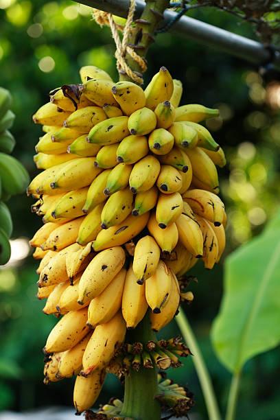 Reife Bananen Bund – Foto