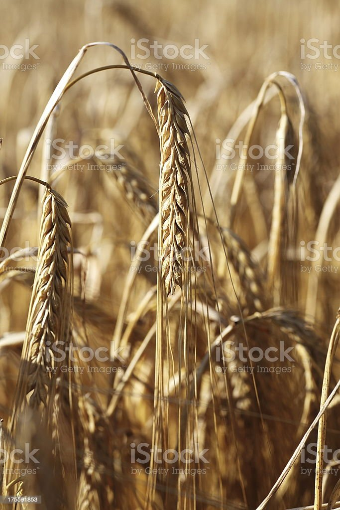 Ripe barley crop stock photo