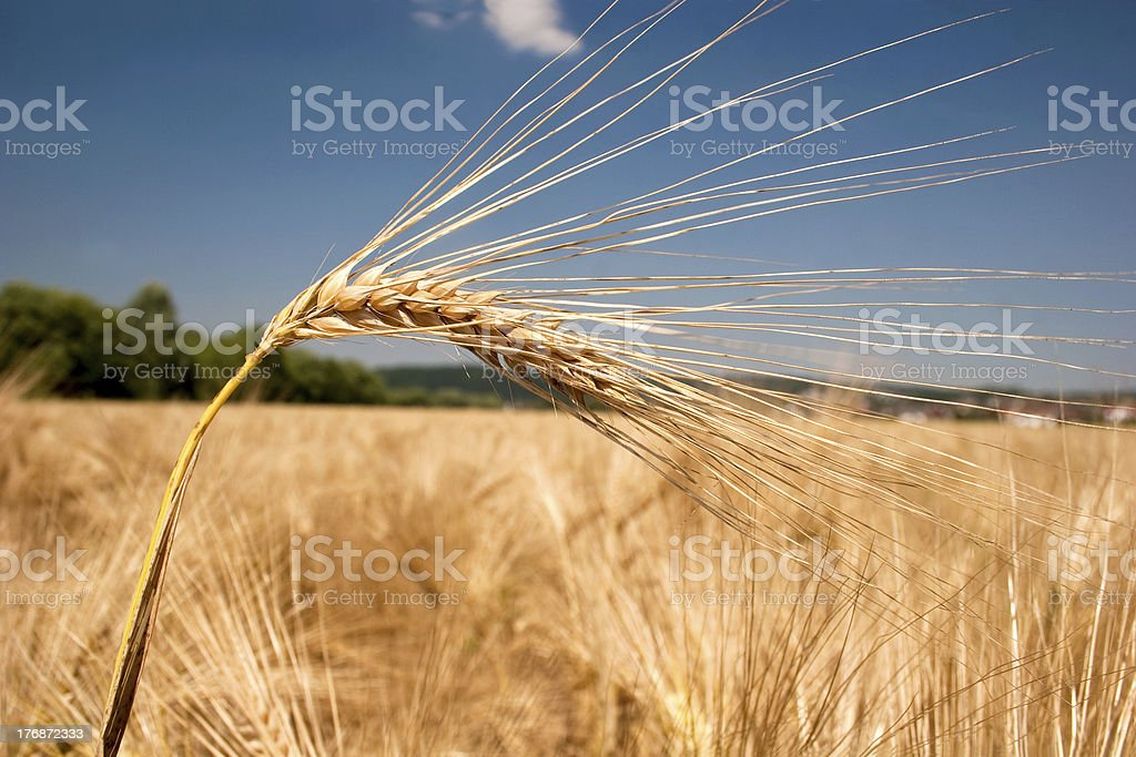 Ripe barley head in front of a field stock photo