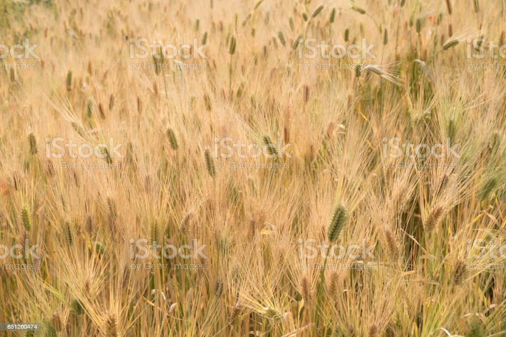 Ripe barley stock photo