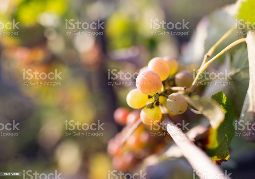 ripe berries of grapes in the garden stock photo