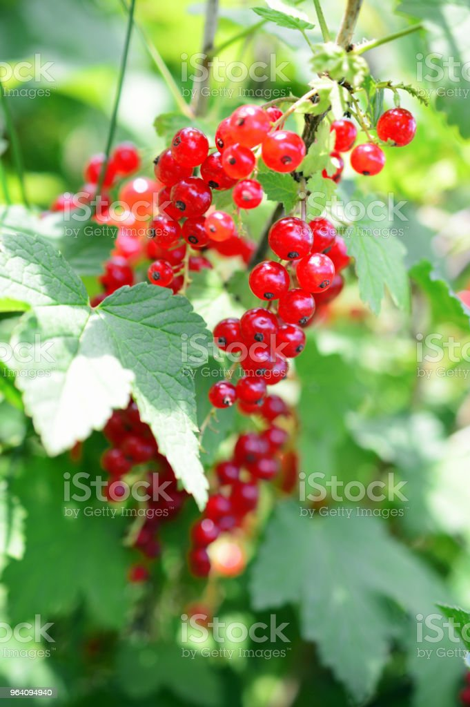 ripe berries of red currant on a branch with leaves in garden - Royalty-free Agriculture Stock Photo