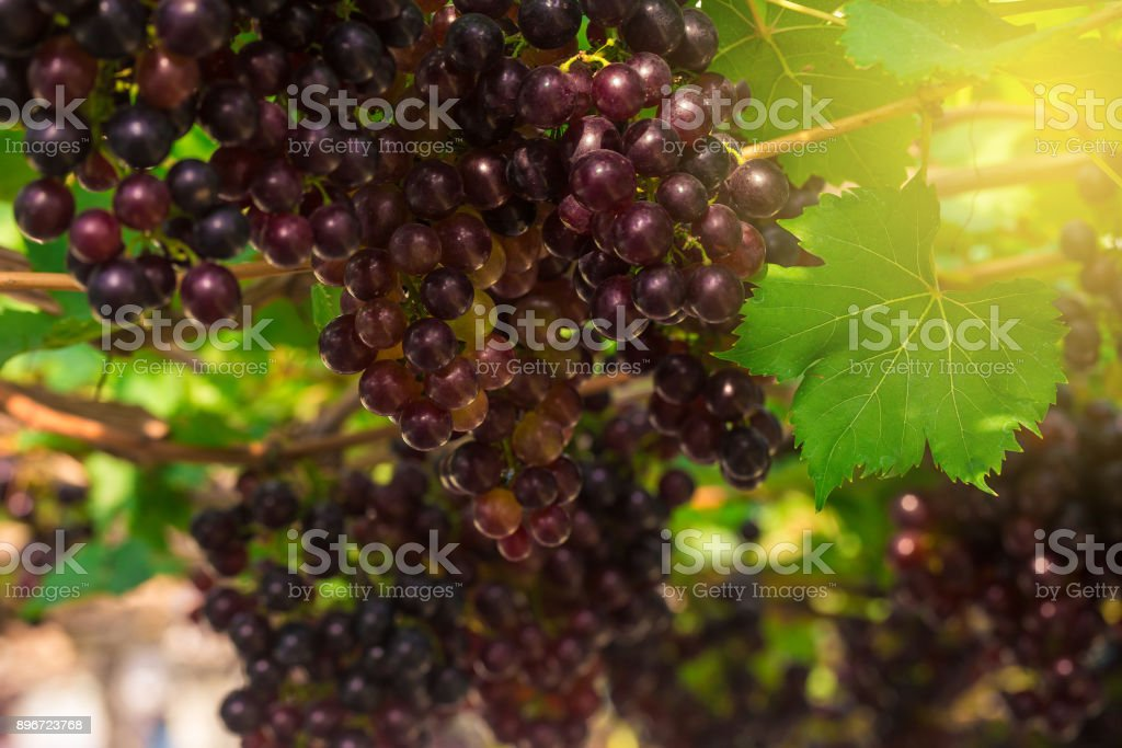 Ripe berries of red grape on tree branch stock photo