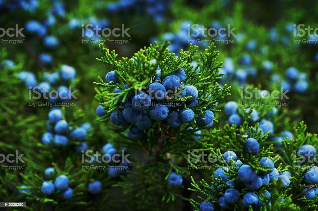 Frutos maduros em um arbusto de zimbro. - foto de acervo