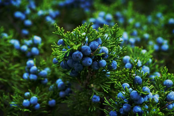 olgun çilek ardıç bush. - dutsu stok fotoğraflar ve resimler