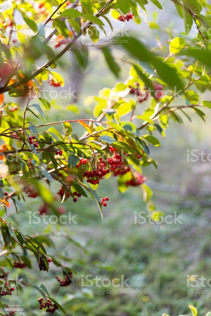 Ripe Berries On Tree zbiór zdjęć royalty-free