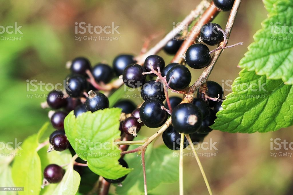 Ripe black currant on the bush in summer stock photo