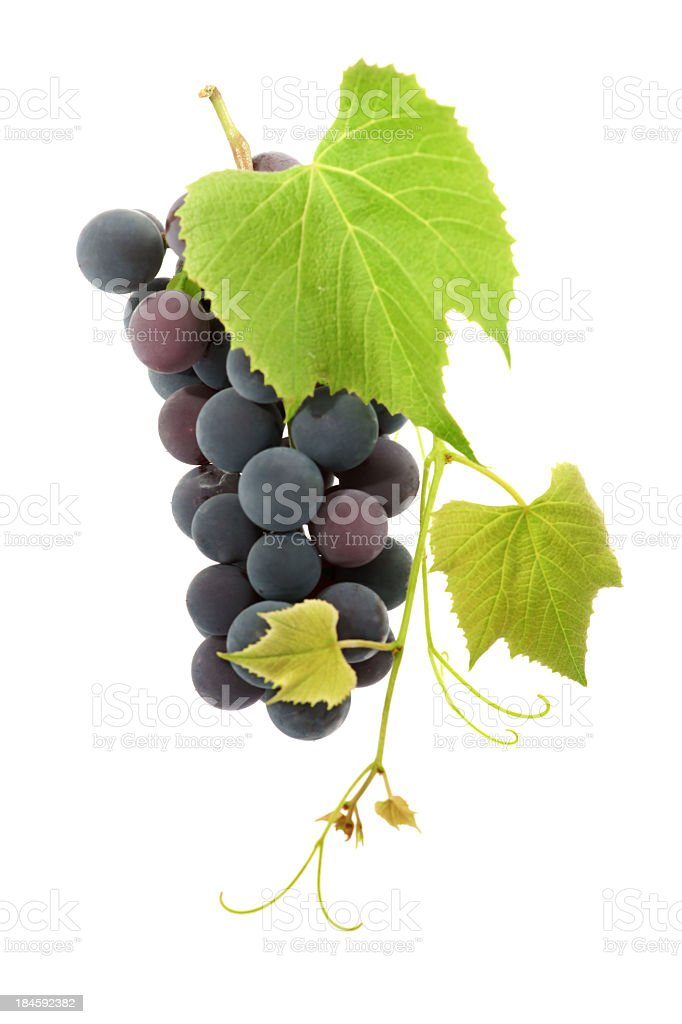 Ripe black grapes growing on a vine stock photo