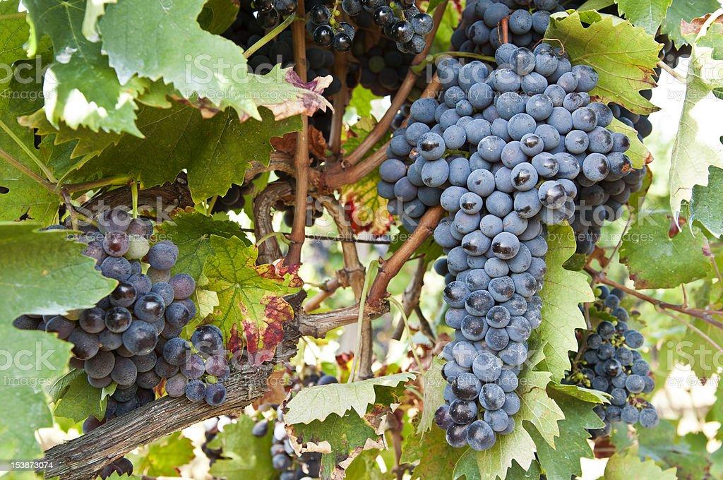Ripe black grapes in vineyard stock photo