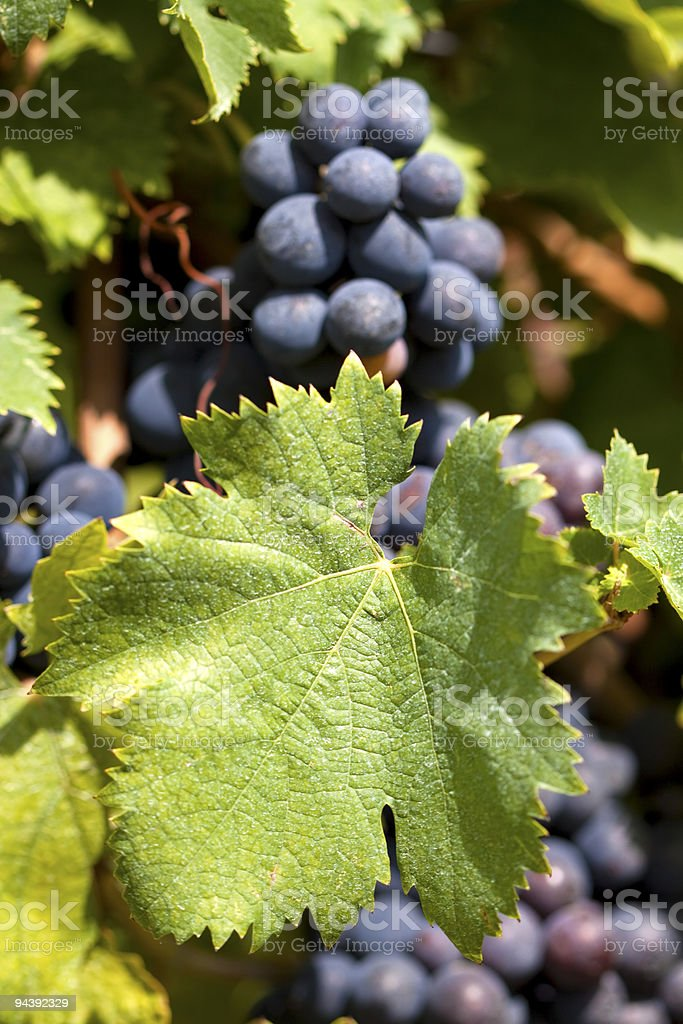 Ripe black grapes in vineyard stock photo