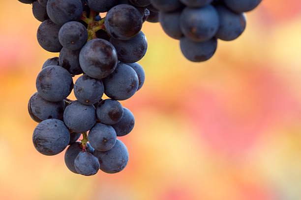 ripe black grapes stock photo