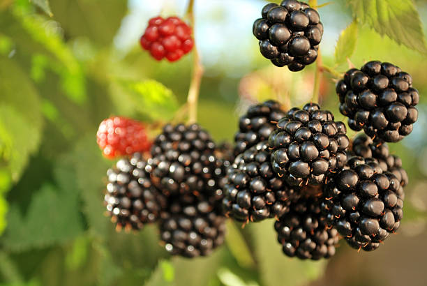 ripe blackberries in the garden stock photo
