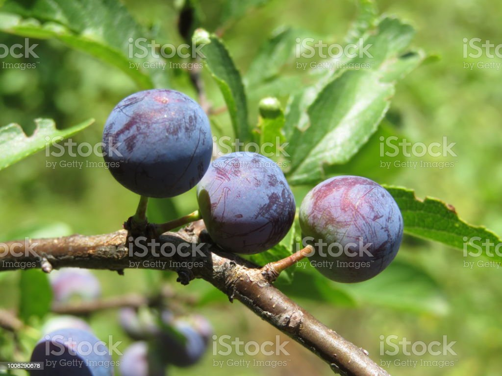 Ripe blackthorn berries growing on a branch with green leaves stock photo