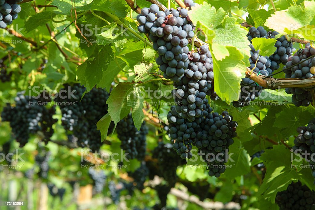 Ripe blue grapes in the vineyard stock photo