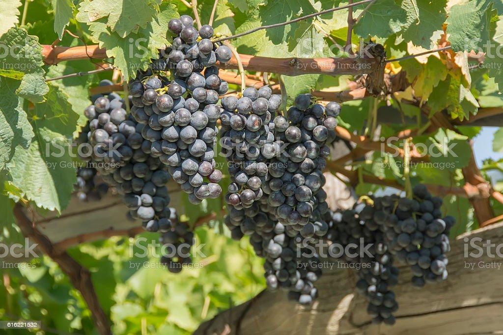 Ripe blue grapes in vineyard – Foto