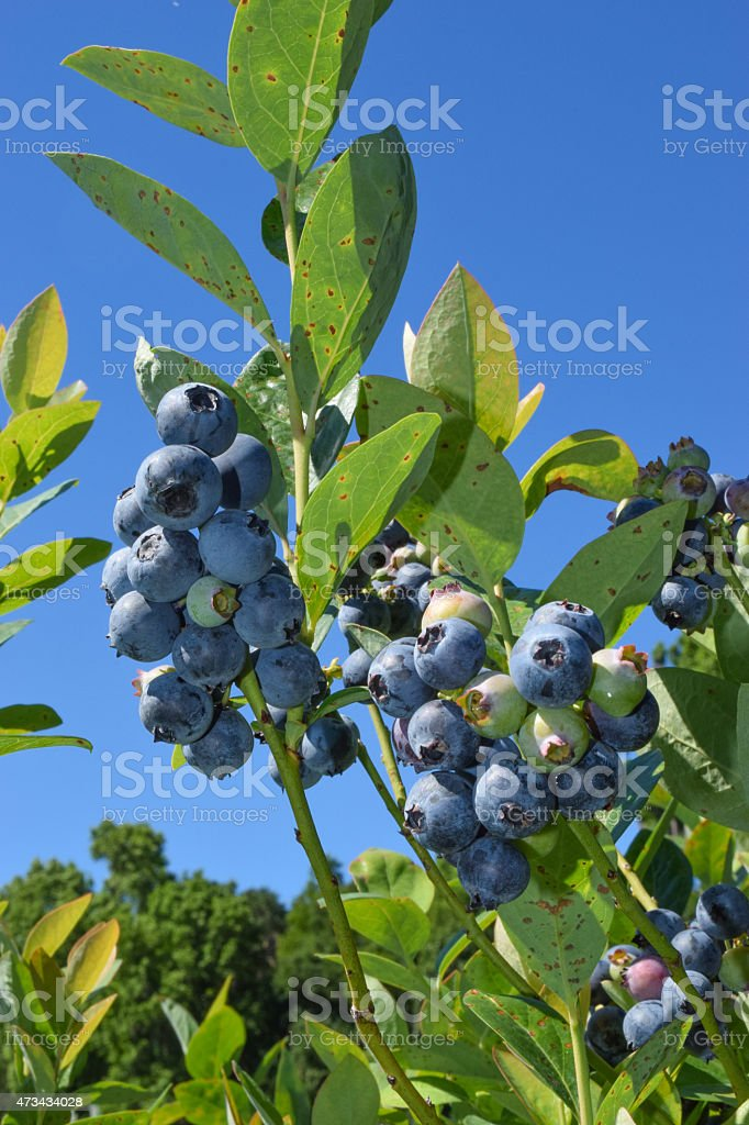 Ripe Blueberries and Spring Sky stock photo