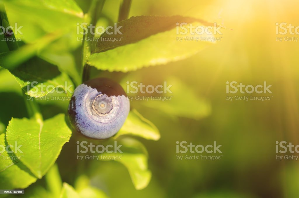 Ripe blueberries in nature royalty-free stock photo