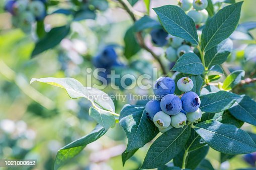 Plantations of blueberries during harvest. Shallow depth of field. Close-up. Place for text.