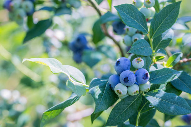 ripe blueberries on a branch in a blueberries orchard. - blueberry stock pictures, royalty-free photos & images