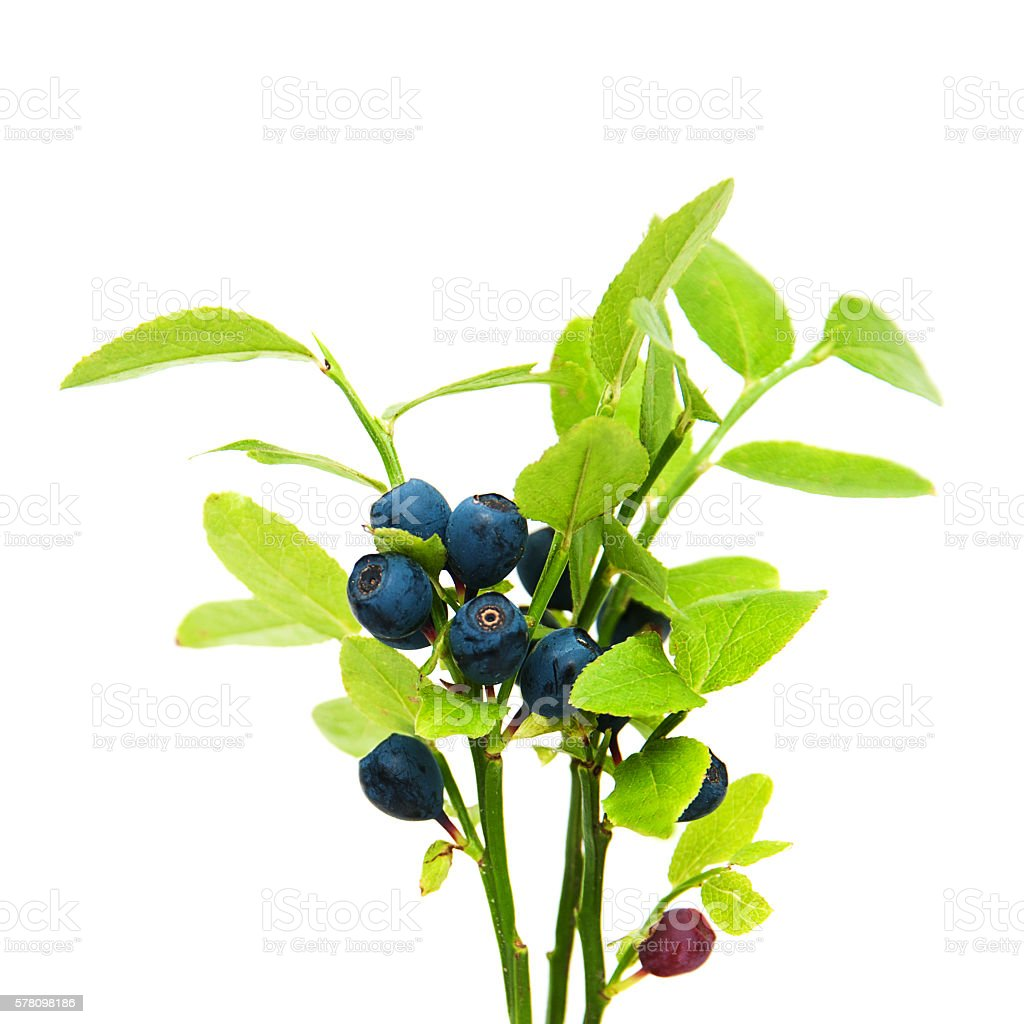 ripe blueberries on the branch stock photo