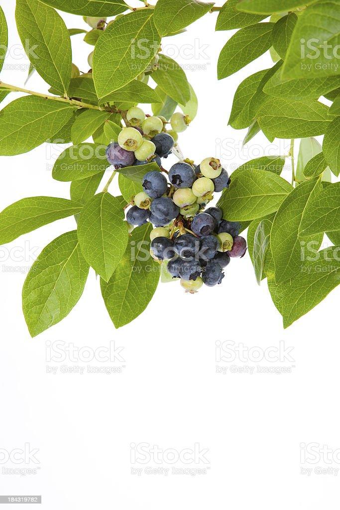 Ripe blueberries, on the vine stock photo