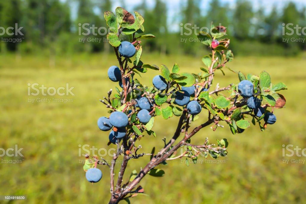 Ripe blueberries. stock photo