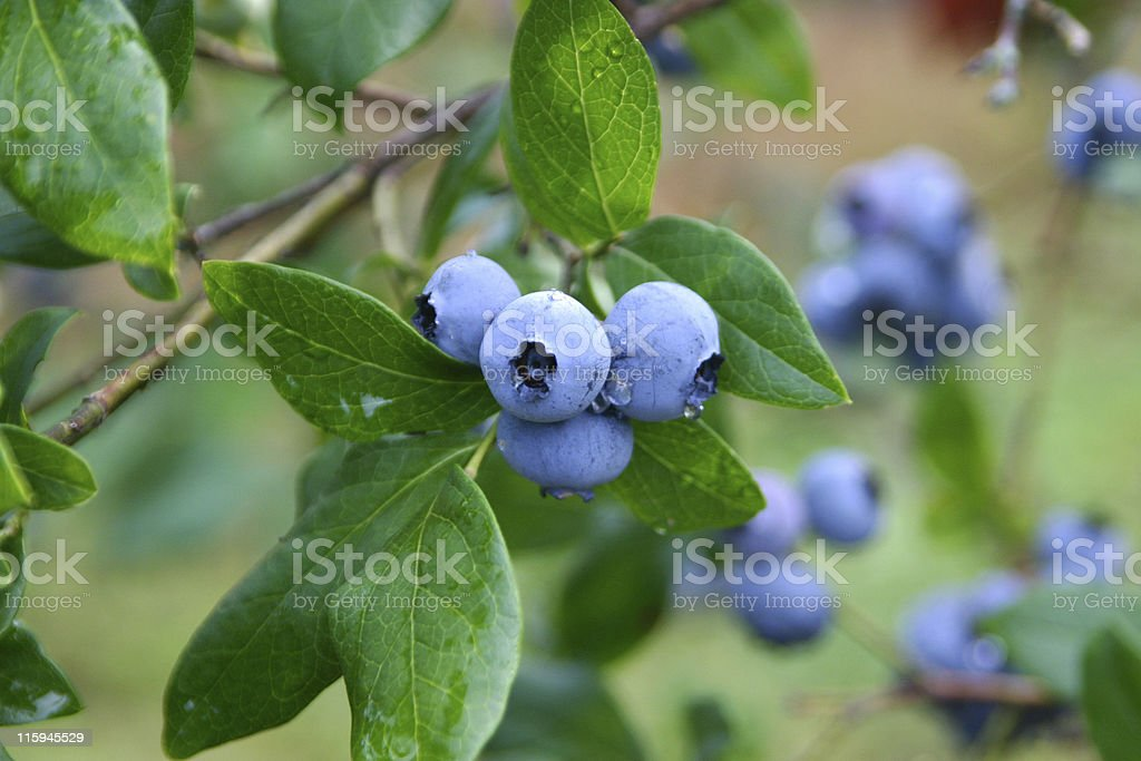 Ripe Blueberries stock photo