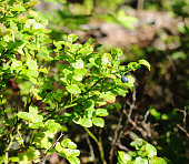 A bush of blueberries in a forest sunny glade