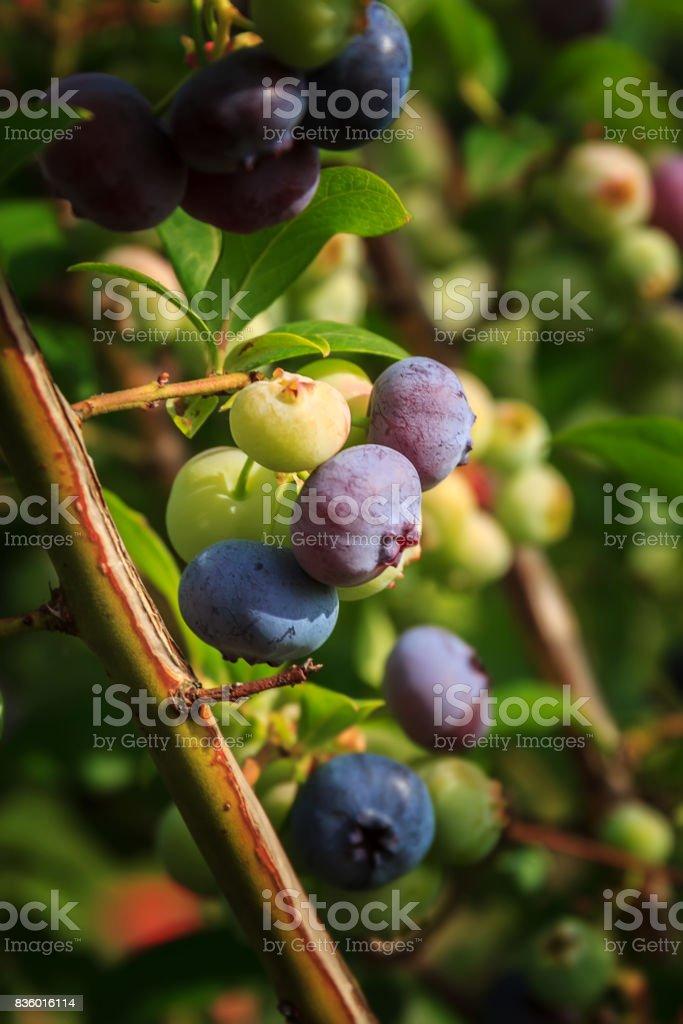 ripe blueberry on bush with raindrop stock photo