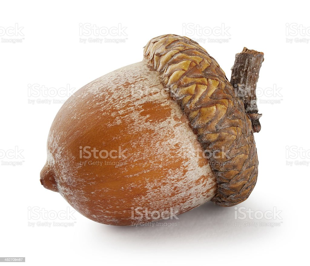 Ripe brown acorn stock photo