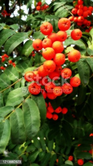 A bunch of fruits of red mountain ash.