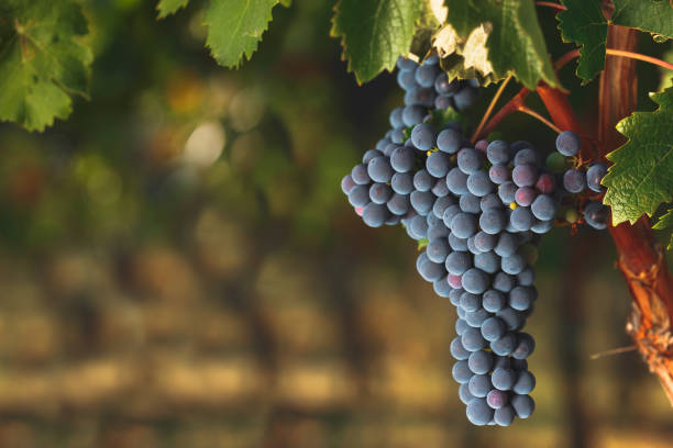 Ripe Cabernet grapes on old vine growing in a vineyard Ripe Cabernet grapes on vine growing in a vineyard at sunset time, selective focus, copy space cabernet sauvignon grape stock pictures, royalty-free photos & images