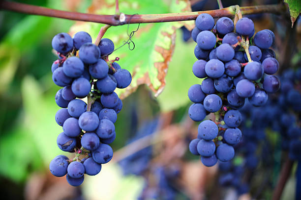 ripe cabernet grapes ripe cabernet grapes ready for harvest cabernet sauvignon grape stock pictures, royalty-free photos & images