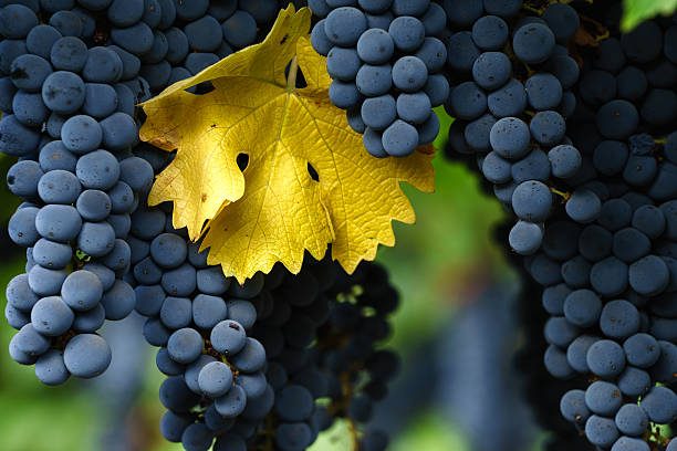 Ripe Cabernet Sauvignon grapes in Napa with single autumn leaf Fall in Napa Valley wine country. Close up of bunches of red wine grapes hanging from the vine, ready for harvest. sonoma stock pictures, royalty-free photos & images
