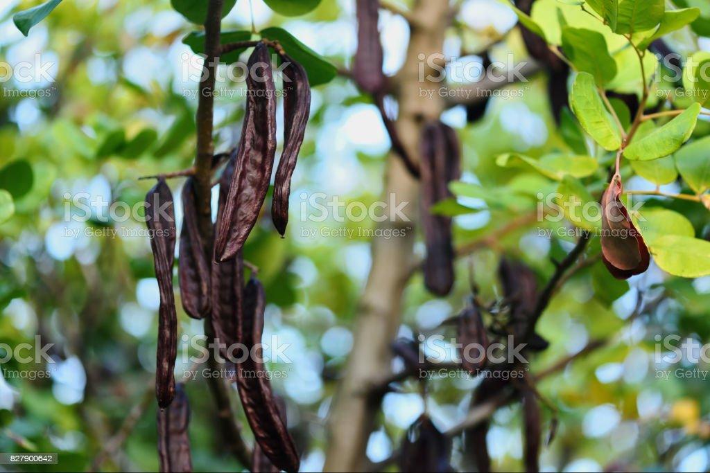 Algarrobas maduras colgando en la rama del árbol de algarroba - foto de stock