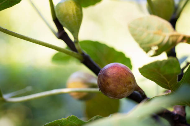 Ripe Celeste Fig on Tree stock photo