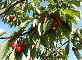 Ripe cherry fruits on tree branches, ready for picking.